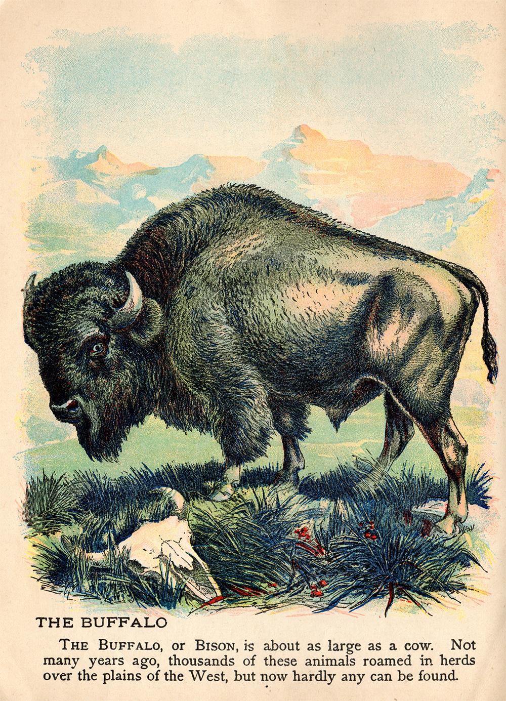 bisonweb
