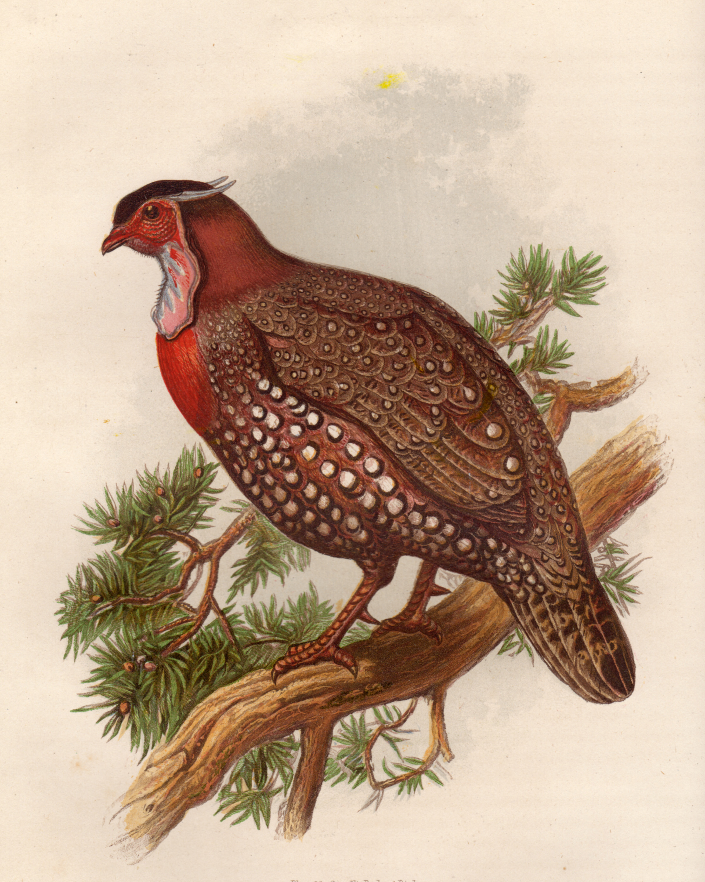 Partridge From Cassell's book of birds : from the text of Dr. Brehm